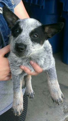 The cutest little Aussie!!