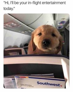 I guess southwest airlines ain't so bad afterall   TrendUso #southwest #Airlines #airline #Airplane #plane #planes #goldenretriever #dog #dogs #cute #adorable #cuteness #CutenessOverload #funny #hilarious #humor #meme #memesdaily #lol #wtf #omg #rofl