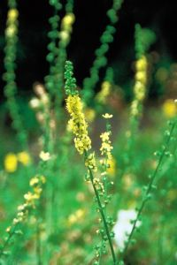 Agrimony...is the remedy for people who keep their troubles hidden under a mask of pleasure and happiness. The sad clown masking inner hurt by being the life and soul of the party is an Agrimony archetype. Friends are often the last to know that anything is wrong in the Agrimony persons life.  #Edward_Bach #Flower_remedies #Agrimony