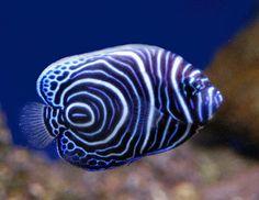 saltwat fish, koran angelfish, anim, color patterns, natur, sea, ocean, blues, blue angels