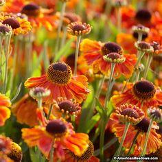Orange and Yellow Helenium Mardi Gras, Sneezeweed