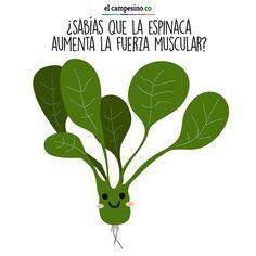 LA ESPINACA ¡Popeye tenía razón! Los nitratos presentes en la espinaca son los responsables de aumentar la fuerza en los músculos. Además ayuda a bajar de peso, favorece el tránsito intestinal, mejora la visión y mantiene la presión arterial balanceada. Es una de las verduras más saludables.