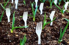 Use Plastic Forks in Garden to Keep out Animals. Prevent animals from getting into your garden by strategically placing plastic forks in the soil. You could also use the fork tines to hold names of plants. Roses In Potatoes, Organic Gardening, Gardening Tips, Gardening Services, Gardening Supplies, Indoor Gardening, Best Garden Tools, Rose Cuttings, Plastic Forks