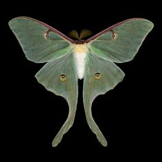 Luna Moth - Actias luna (male). $25.00, via Etsy. Moths imaged using a high resolution scanner.