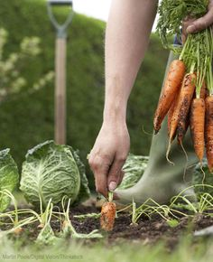 Expand your garden with 18 common vegetables well-suited to an autumn harvest. plant, food, grow, vegetables garden, gardens, carrots, garden idea, veget garden, gardening vegetables