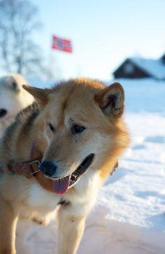 Greenland Dog (Grønlandshund). Dog Breeds List, Rare Dog Breeds, Pet Dogs, Dogs And Puppies, Dog Cat, Greenland Dog, Unique Dog Breeds, Snow Dogs, Dog Boarding
