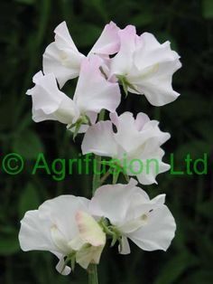 White hyacinth flower meaning unlock the secret auntyflo white sweet pea mightylinksfo