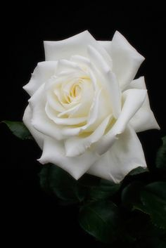 I'm not a big fan on white roses because they have a tendency to turn brown and have spots, but here was a perfect bloom of a really lovely rose. Lavender Roses, Blue Roses, White Roses, White White, Big Garden, Garden Beds, Winchester Cathedral Rose, Types Of Roses, Growing Roses