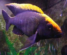 All African Cichlid Species African Cichlids Lake