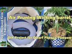 Air Pruning Self watering/Wicking barrel, a DIY project for papaya/pawpaw.. - YouTube