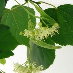 LIPA Trees And Shrubs, Natural Medicine, Plant Leaves, Herbs, Health, Nature, Plants, Gardening, Education