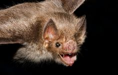 Why Female Vampire Bats Donate Blood to Friends. Female vampire bats donate blood to friends to ensure their survival down the road—suggesting the animals' social lives are much more sophisticated than we thought, a new study says.
