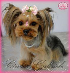 Korean Dog Grooming Style - Model: Yorkshire Taty