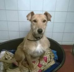 FOUND 11/2/16 ST ALBANS DISTRICT COUNCIL11-02-201602:52AL3BATCHWOOD DRIVELURCHER MALEMALE, TAN, ROUGH COATED, WHITE CHEST AND PAWS.03444 828 300 09:00 – 17:00 Monday to Sunday