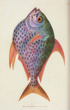 "design-is-fine: ""James Sowerby, Zeus Opah, or King-fish, from British miscellany. Fish Illustration, Botanical Illustration, Graphic Illustration, Vintage Artwork, Vintage Prints, Guache, Sea Fish, Vintage Fishing, Colorful Fish"