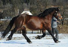 Noriker stallion Holder Vulkan XVI