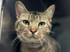 TO BE DESTROYED 5/10/14 ** Isn't Madison a pretty girl?? Do you have room in your home and heart for her tonight? Madison did not approach the front of the kennel for interaction but remains calm and relaxed in the back. Allows petting and handling and no signs of aggression ** Brooklyn Center  My name is MADISON. My Animal ID # is A0997107. I am a female brn tabby domestic sh. The shelter thinks I am about 2 YEARS old.  I came in the shelter as a STRAY on 04/18/2014 from NY 11208