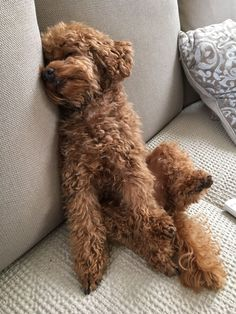 Everything I admire about the Poodle Pup Cute Puppies, Cute Dogs, Dogs And Puppies, Poodle Puppies, Animals And Pets, Cute Animals, Silver Poodle, Red Poodles, French Poodles