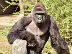 Stati Uniti, in uno zoo dell'Ohio un bambino precipita nel fossato di un gorilla, per salvare il bimbo gli operatori uccidono il primate