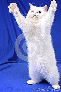 Gato branco que pede um abraço                              …
