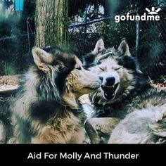 gf.me/mzgy #gofundme we are very sad and ashamed to say that we can not afford the treatment for molly and thunders condition. We are asking for the help of all dog lovers and kind people of the world. Please help us help them!  #gofundme #linkinbio #huskylover #huskylove #husky #huskypuppy #husky #siberianhusky #woollyhusky #maleandfemale #help #fundraiser #medical #vet #veterinarian #banfieldpethospital #banfield #husklife #dogs #dogsofinstagram #cutedogs #dogsofig #doggy #puppies #puppy…