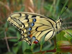 Swallowtail by Ester Filippi / 500px