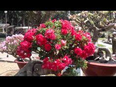 adenium flower festival in Vietnam 2014 - YouTube
