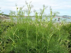 Fennel - Foeniculum vulgare by Peter Herring, via Flickr