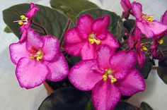 african violet Marching Band pair of leaves