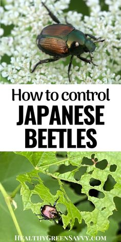 Don't let Japanese beetles destroy your garden! Here are 12 natural ways to fight back and protect your favorite plants. #Japanesebeetles #nontoxicpestcontrol #garden #gardeningtips Organic Gardening, Gardening Tips, Cedar Oil, Japanese Beetles, Green Living Tips, Natural Lifestyle, Natural Cleaners, Eating Organic, Homemaking