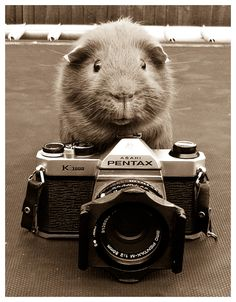 Guinea Photography by ~elenril on deviantART (Bimbo the guinea pig with a camera)