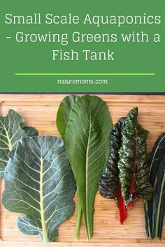 Small Scale Aquaponics and growing fresh greens in a fish tank! | Nature Moms