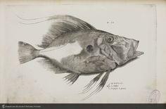 John Dory (Zeus faber) from Salviani's Aquatilium animalium historiae ID: b1180636_2