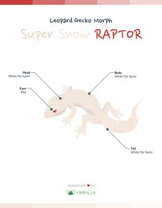A super snow RAPTOR leopard gecko exhibits a completely white body, head, and tail with solid ruby red eyes.