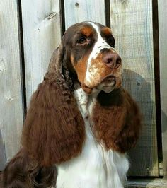 Gorgeous springer spaniel