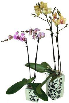 El Mundo de las Orquideas: Consejos de cuidado para las orquídeas Phalaenopsis