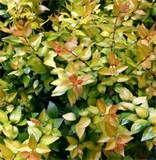 Abelia grandiflora 'Frances Mason'