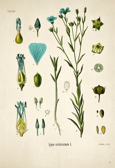 Vintage botanical print Linaceae, via Flickr. ALI I have an idea for the pie labels using these!