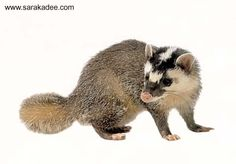 SQUEEEEEE!!!!!!!!  All the cuteness of a ferret, combined with all the badass of a badger:  it's a ferret badger!  :)