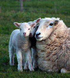 Nature Animals, Farm Animals, Animals And Pets, Funny Animals, Cute Animals, Suffolk Sheep, Cute Lamb, Sheep Art, Baby Lamb
