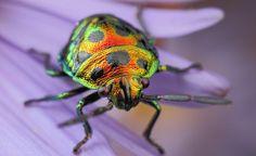 Iridescent polychromatic jewel mimicking Stink Bug.