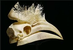 """A Black Casqued Hornbill skull, one of the photos featured the book, """"Skulls: An Exploration of Alan Dudley's Curious Collection"""", written by Simon Winchester with photography by Nick Mann."""