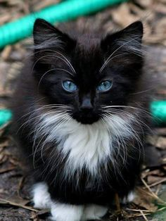 awww! he's so cute! those beautiful blue eyes love his colouring too - a real cutie~ I'll take him anytime.