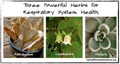 Astragalus helps to strengthen the lungs and the immune system.  Codonopsis, is another tonic root from China. This herb nourishes the blood and strengthens the lungs.  Mullein is a traditional western herb for strengthening and healing the lungs.