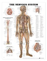 Nervous System anatomy poster illustrates nerves in the body, brain, midbrain, medulla oblongata and spinal cord. Neurology chart for doctors and nurses. Nervous System Anatomy, Human Nervous System, Nerve Anatomy, Body Anatomy, Muscle Anatomy, Medical Posters, Anatomy Models, Muscular System, Human Anatomy And Physiology