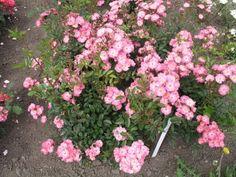 Růže Roztomilá