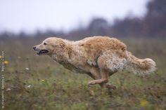 Hungarian Mudi dog