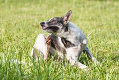 Homemade Anti-Itch Spray can make your dog so much more comfortable. With just a couple ingredients, you can whip up this soothing spray for your itchy pup in minutes. Home Remedies For Fleas, Flea Remedies, Itching Remedies, Natural Remedies, Dog Dental Care, Dog Care, Dog Anti Itch Spray, Dog Hair Loss, Dog Hot Spots