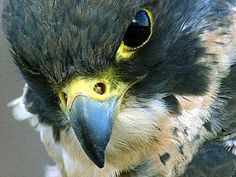 The peregrine falcon is a raptor a bird that hunts for its food. They are the fastest of all birds. Flying at speeds fort to sixty five miles per hour they can reach up to two hundred while in the dive to catch prey in mid air. They sometimes nest on the sides of city buildings.