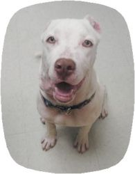A must read: Picasso is an adoptable Dogo Argentino Dog in Carbondale, CO. .....this poor pup has had a horrible life before coming to the shelter...... Oh my gosh what a sweetie he is. He was the str...